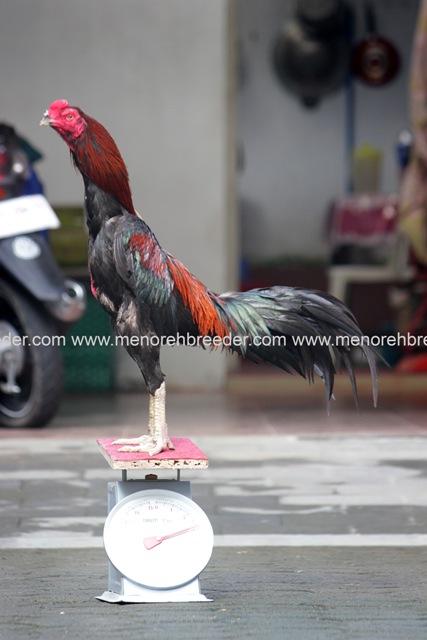 ukuran berat ayam bangkok