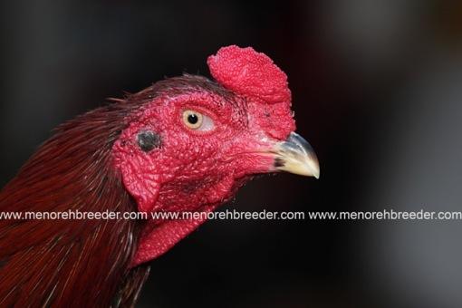 ciri ciri kepala ayam juara