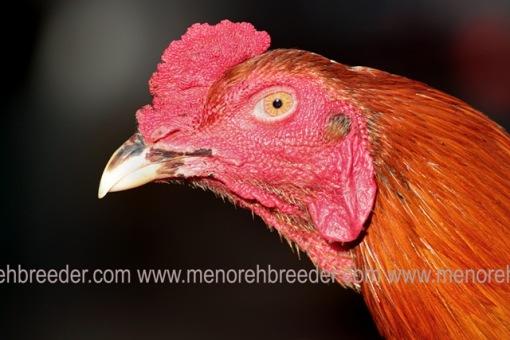 ciri ciri kepala ayam aduan super