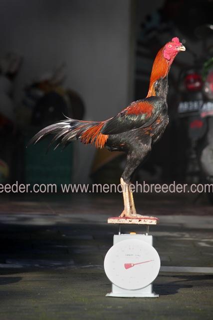 cara enentukan ukuran ayam bangkok