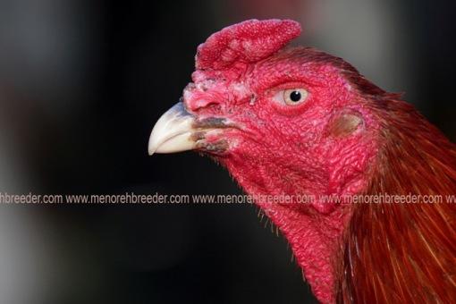 ciri ciri kepala ayam bangkok super istimewa buah pinang