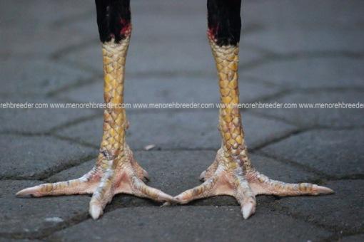 kaki ayam birma