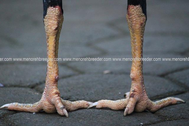 kaki ayam birma pukul sakit