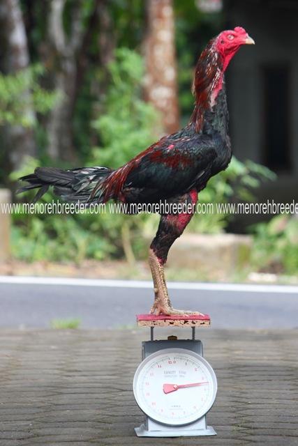 ukuran ayam bangkok