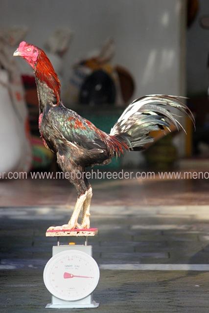 ayam ukuran besar jumbo