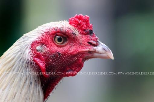 foto kepala ayam birma