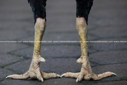 ciri sisik kaki ayam pukul ko