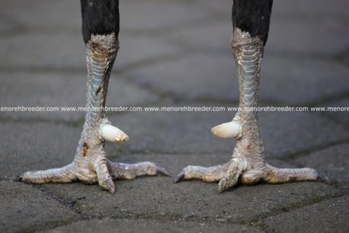 sisik kaki ayam birma