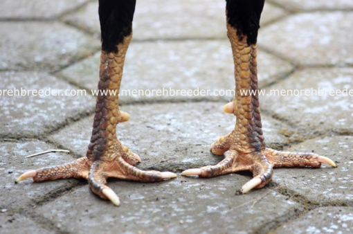kaki ayam bangkok pukul KO