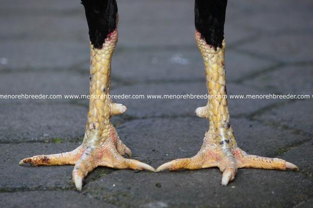 kaki ayam aduan