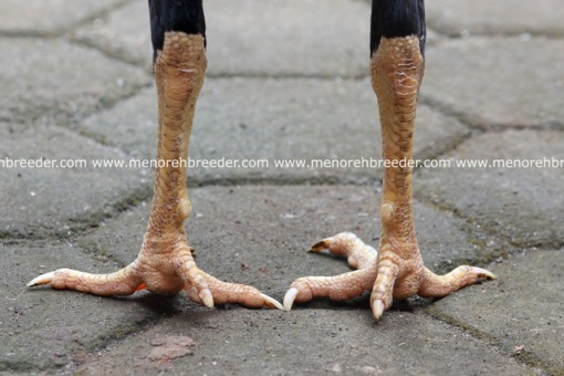 sisik kaki bangkok