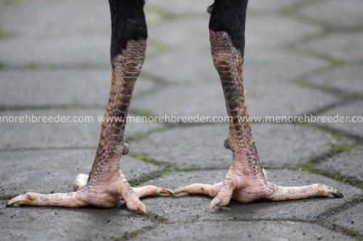 sisik kaki ayam