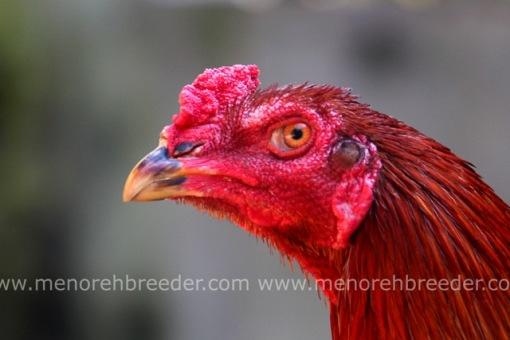 kepala ayam juara
