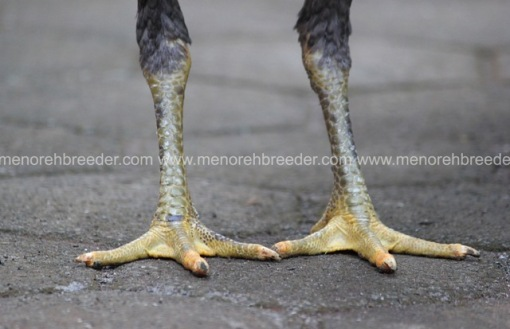 kaki betina rambong