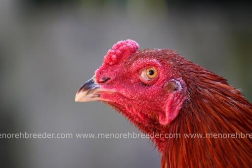 kepala ayam