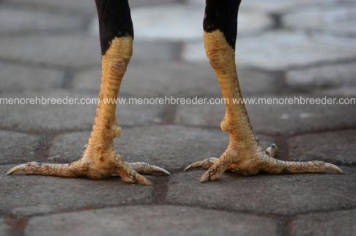 sisik kaki ayam bagkok