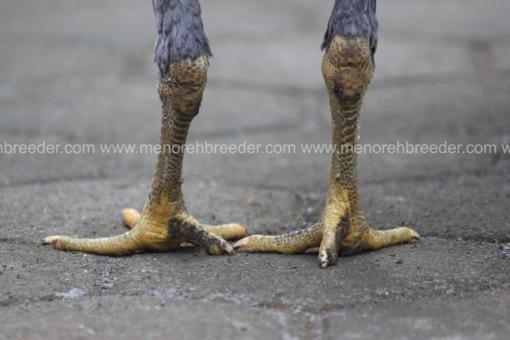 sisik kaki betina birma rambong