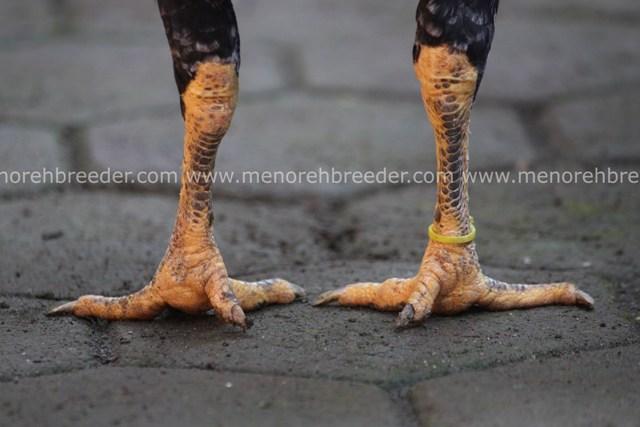 sisik kaki birma