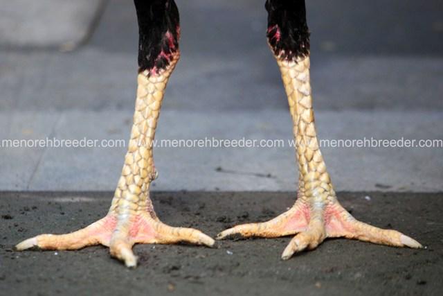 MENOREH BREEDER (Peternakan Ayam Aduan/ Sabung