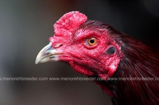 kepala ayam bengis