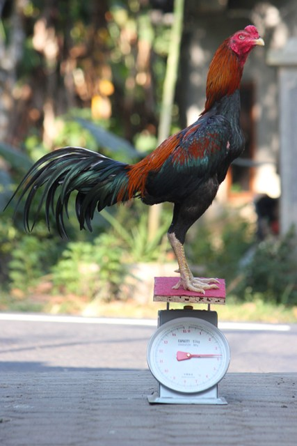 berat ukuran ayam