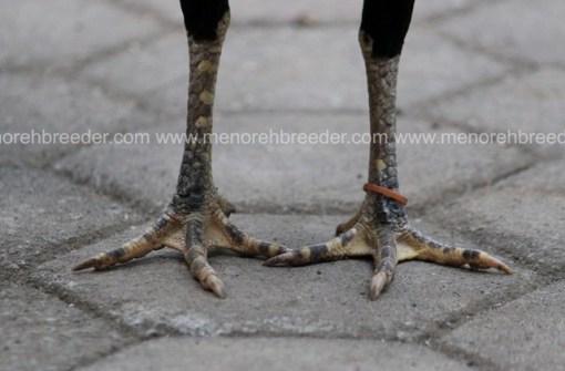 kaki indukan birma