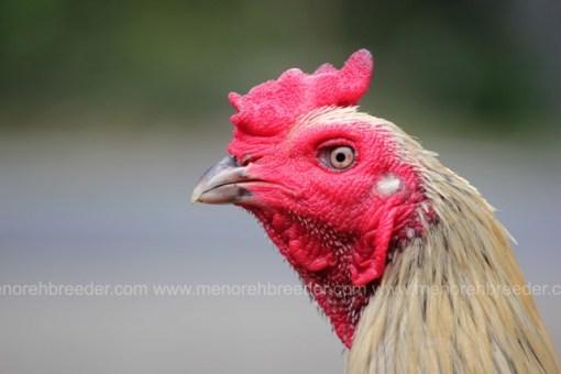 kepala ayam adu