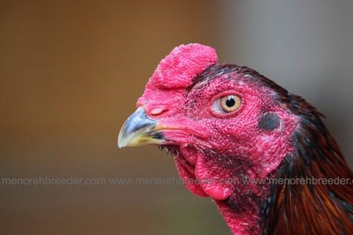 kepala ayam birma bangko