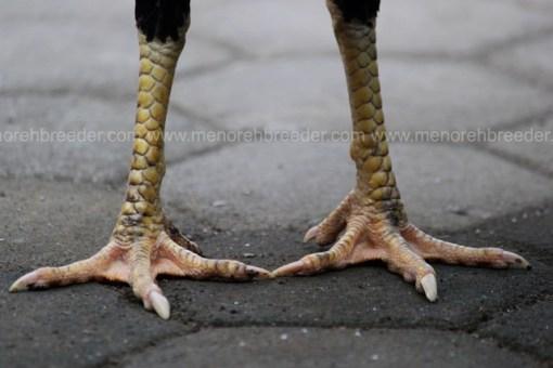 kaki ayam muda
