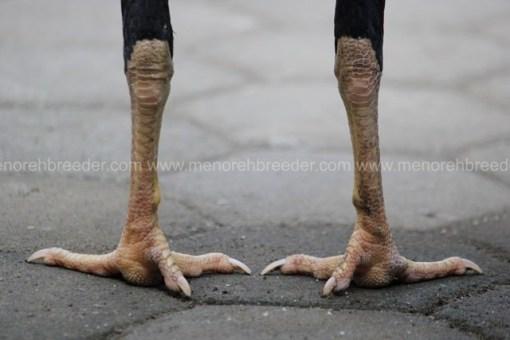sisik kaki ayam muda lancur bangkok