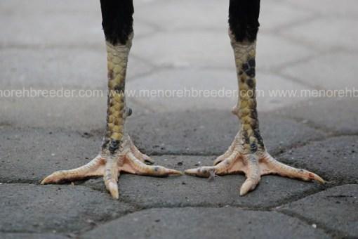 sisik kaki ayam muda