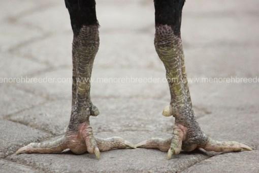 sisik kaki ayam juara