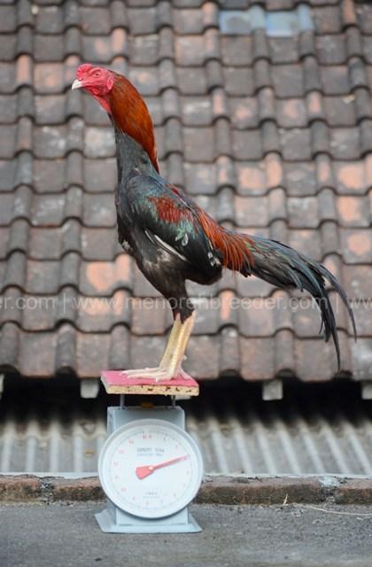 berat ayam aduan