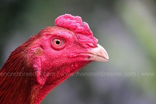 kepala ayam iq tinggi