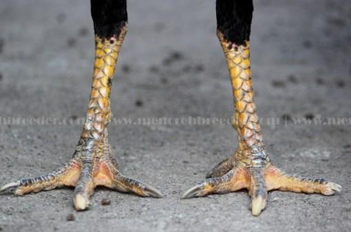ayam bangkok kaki pukul ko