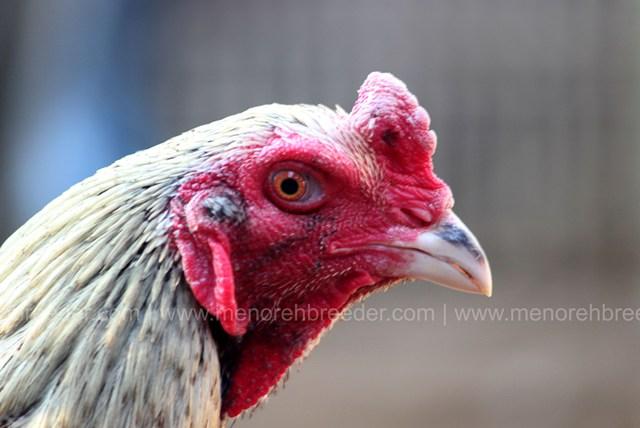 52 Gambar Ayam Teknik Paling Bagus