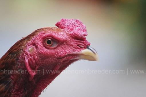 kepala ayam cerdas