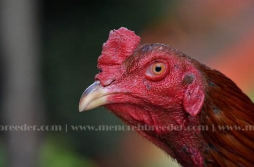 kepala ayam cerdik