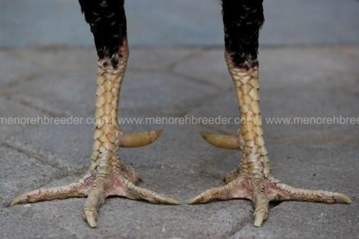 kaki kering jalu tajam