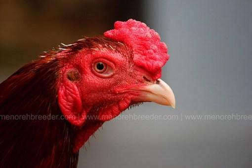 kepala ayam pakhoy