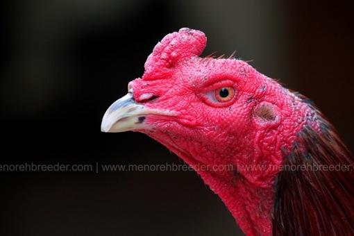 kepala ayam sadis