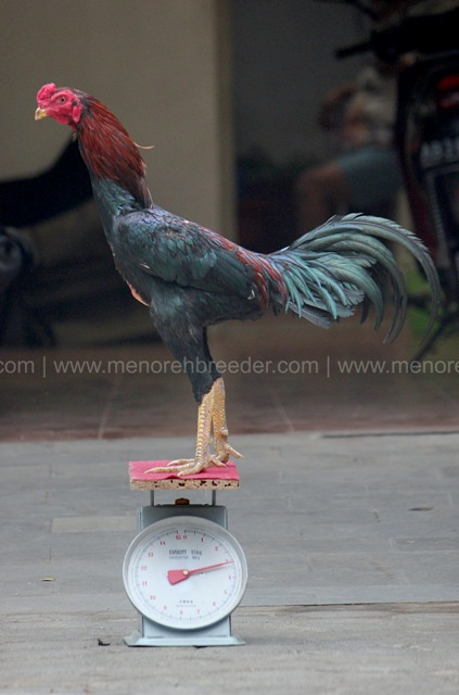 ukuran ayam