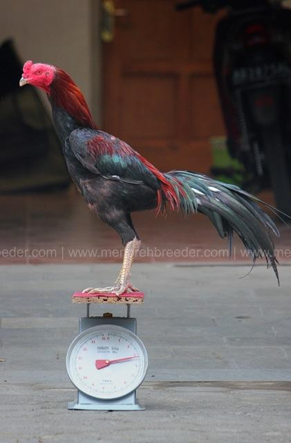 ukuran berat ayam