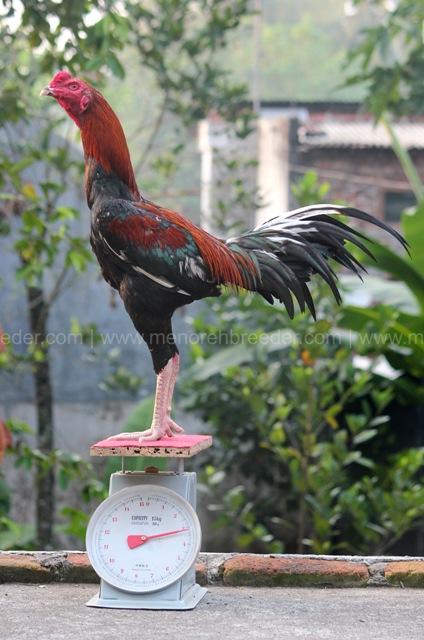 berat ayam bangkok