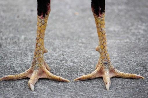 kaki ayam adu