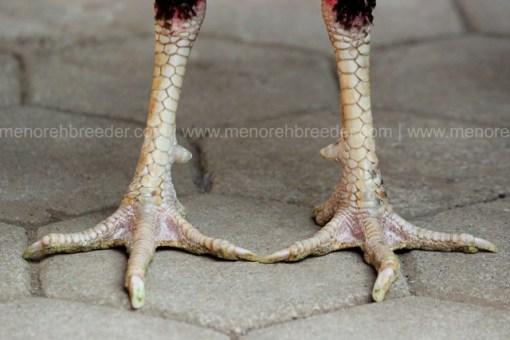 kaki ayam aduan super