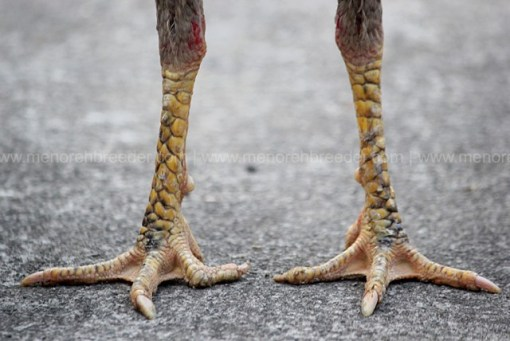 kaki ayam kering pukul sakit