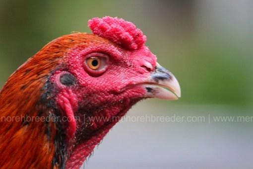 kepala ayam aduan