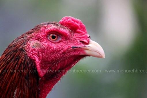 kepala dan matan ayam aduan cerdas