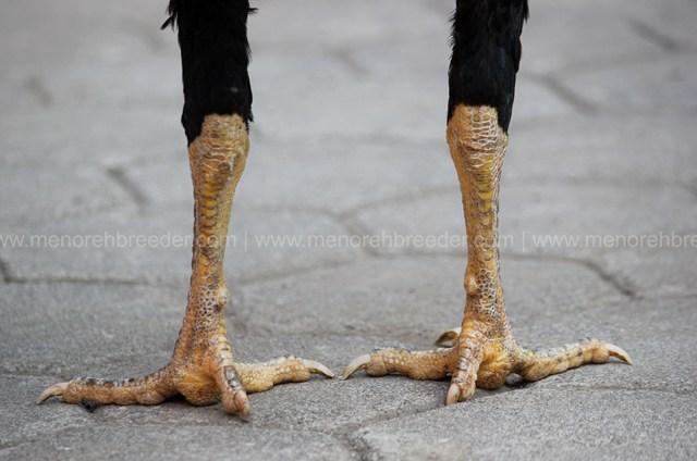 sisik kaki ayam aduan katuranggan